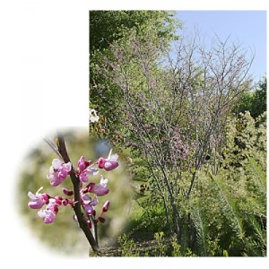 Cercis-occidentalis2.jpg