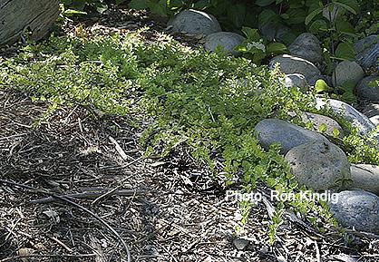 Clinopodium-douglasii(Satureja-douglasii).jpg