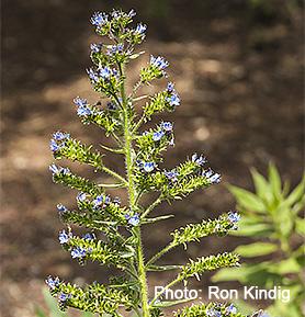 Echium-thyrsiflorium-(gentianoides)2.jpg