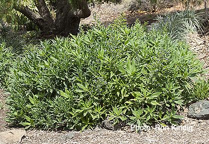 Echium-thyrsiflorium-(gentianoides).jpg