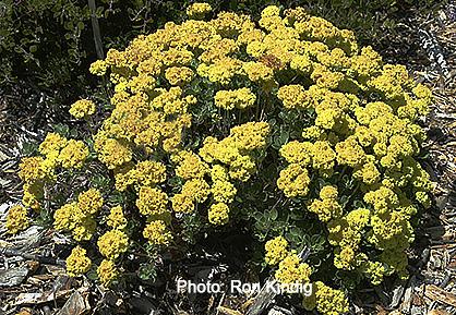 Eriogonum-crocatum.jpg