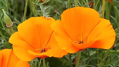 Eschscholzia-californica2.jpg