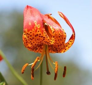 Lilium-pardalinum.jpg