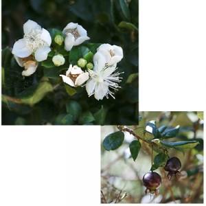 Luma-apiculata (2).jpg