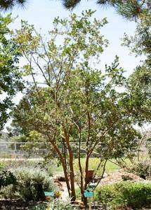 Luma-apiculata.jpg