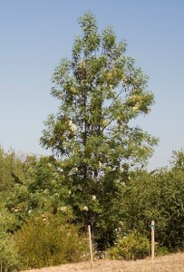 Lyonothamnus-floribundus-var. asplenifolius2.jpg