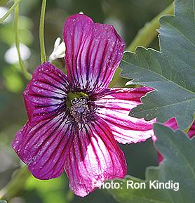 Malva- assurgentiflora-(Lavatera-assurgentiflora)2.jpg