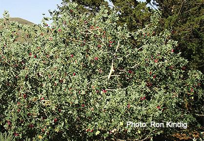 Malva- assurgentiflora-(Lavatera-assurgentiflora).jpg