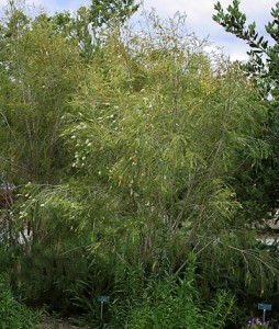 Melaleuca-bracteata.jpg