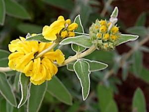Phlomis-fruticosa.jpg