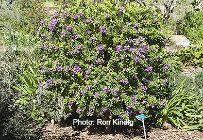 Polygala-myrtifolia2.jpg
