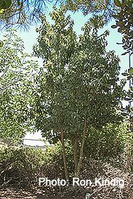Prunus-ilicifolia-ssp.-lyonii2.jpg