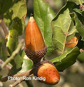 Quercus-agrifolia2.jpg