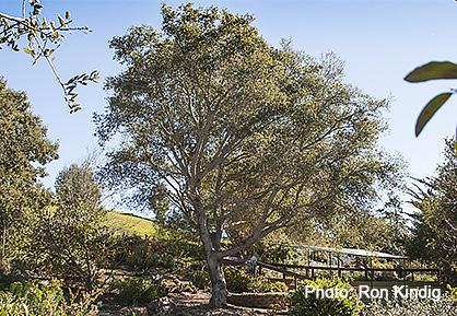Quercus-agrifolia.jpg