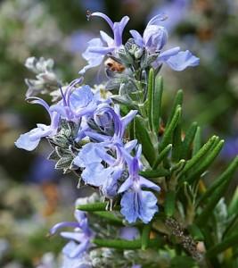 Rosmarinus-officinalis-'Ken Taylor'.jpg