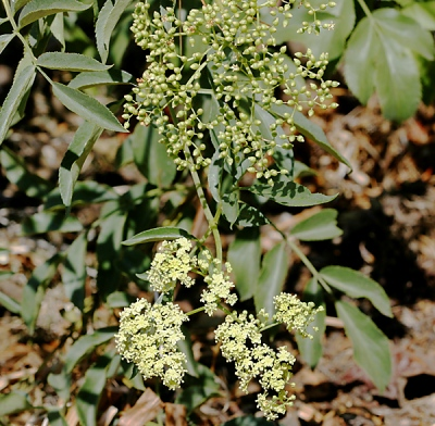 Sambuca-nigra-subsp. caerulea (syn. Sambucas mexicana).jpg