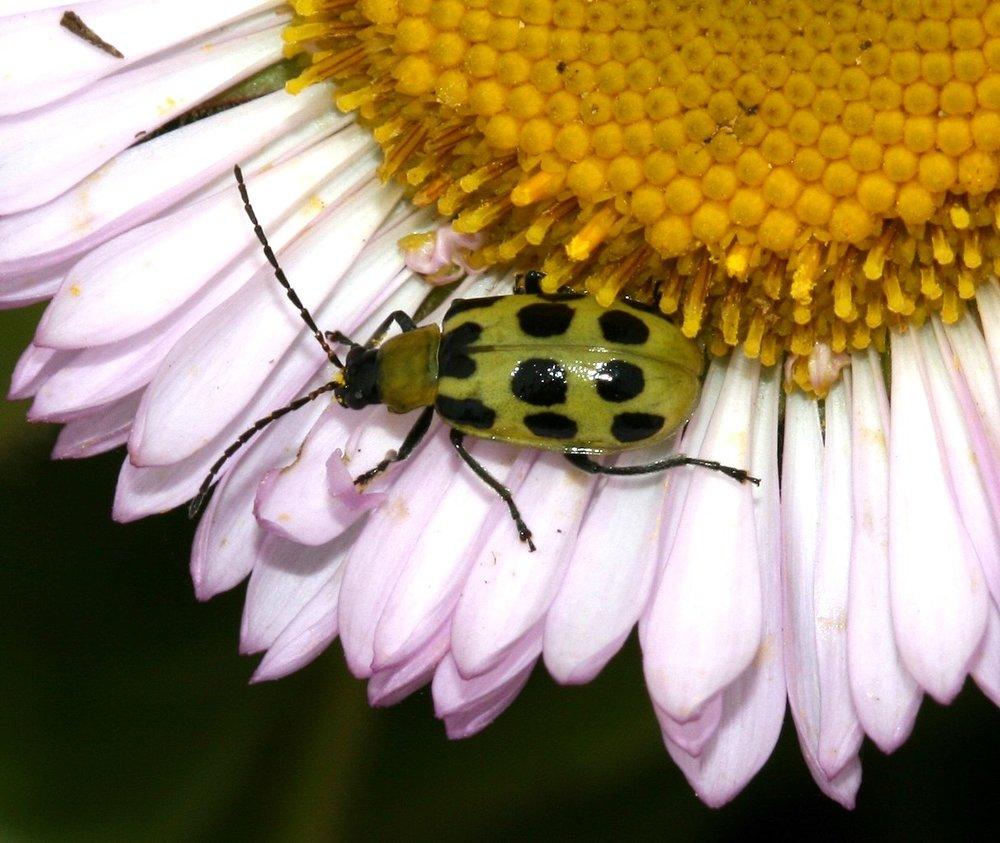 Diabrotica_undecimpunctata_(Western_Spotted_Cucumber_Beetle)_-_Flickr_-_S._Rae.jpg