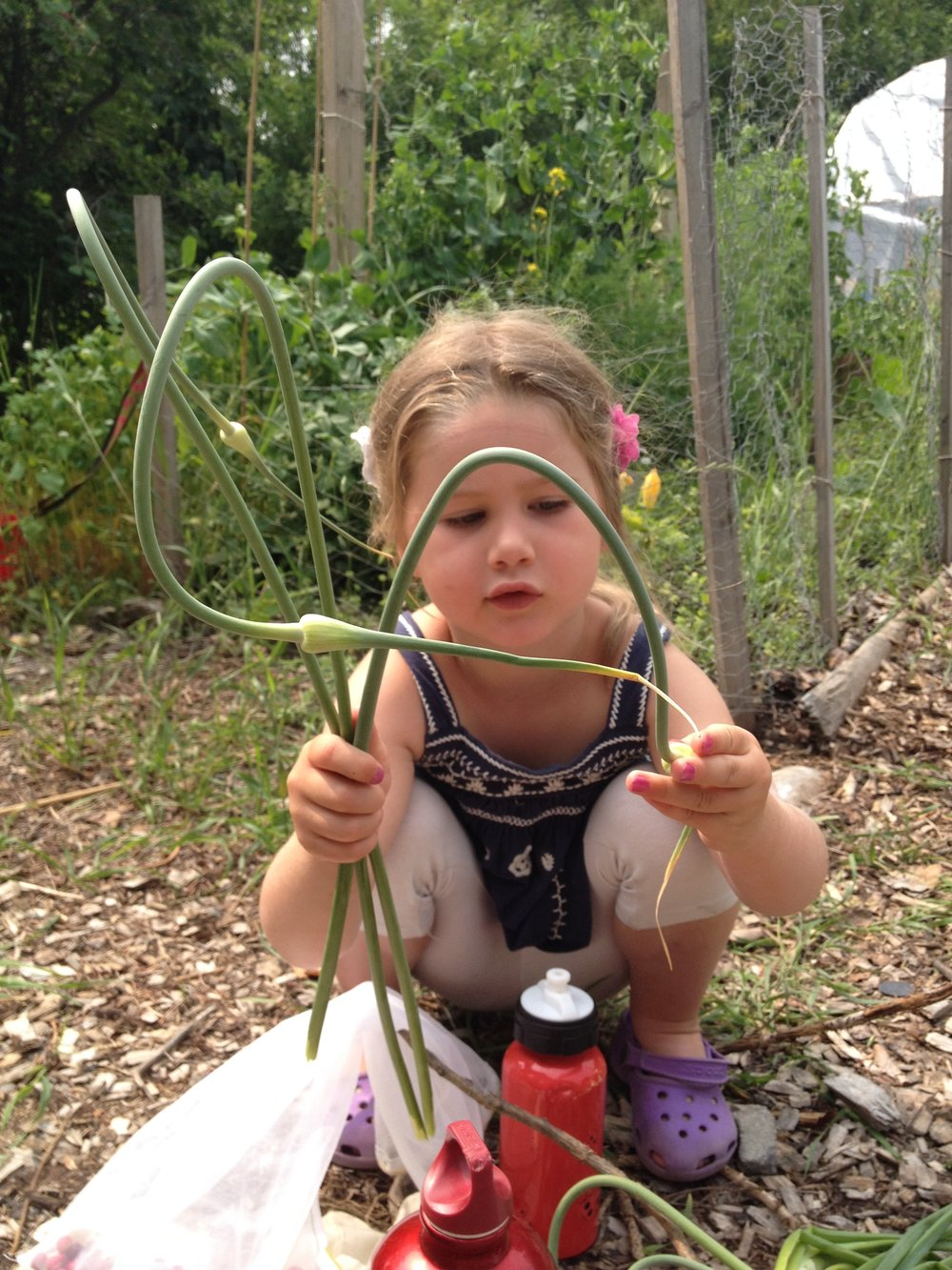 Nina harvesting garlic scapes