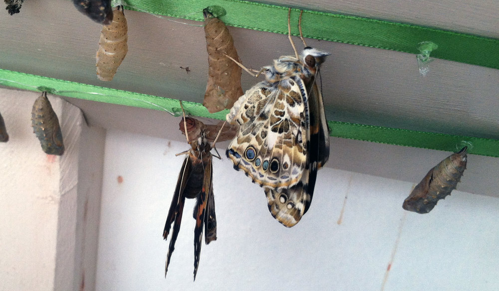 Painted Ladies emerging from their chrysalis