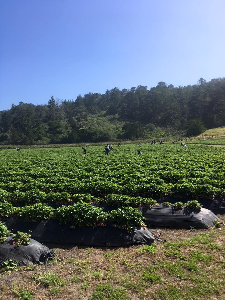 Swanton Berry Farm.jpg