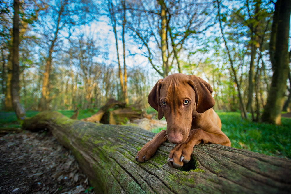 Young Jack had already spent about an hour racing around so was feeling fairly tired and therefore more amenable to doing a bit of posing. I lured him to the fallen tree with a treat and once he was where I wanted him I very quickly stepped back and got a quick shot. He was off a second after this was taken. He certainly didn't sit here posing for half an hour - he was an energetic puppy. But the secret to this shot was timing - not trying to get this at the beginning of the shoot, but when he was more tired and had been given plenty of opportunity to explore and do his own thing.