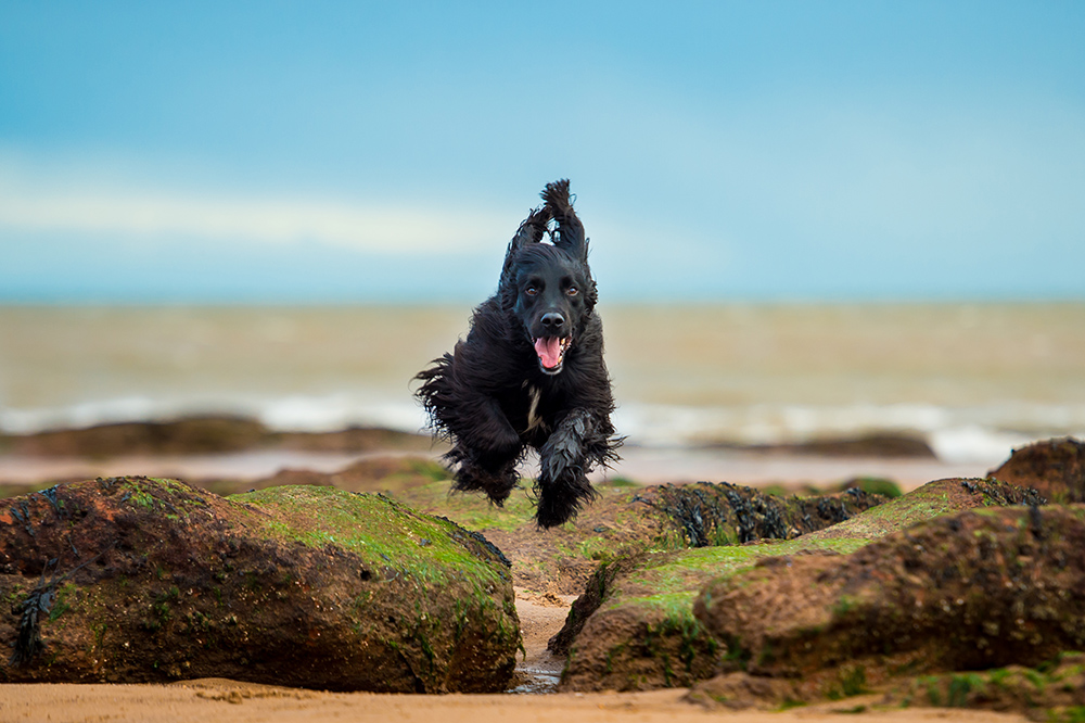 Archie enjoying jumping over the rocks at Exmouth beach