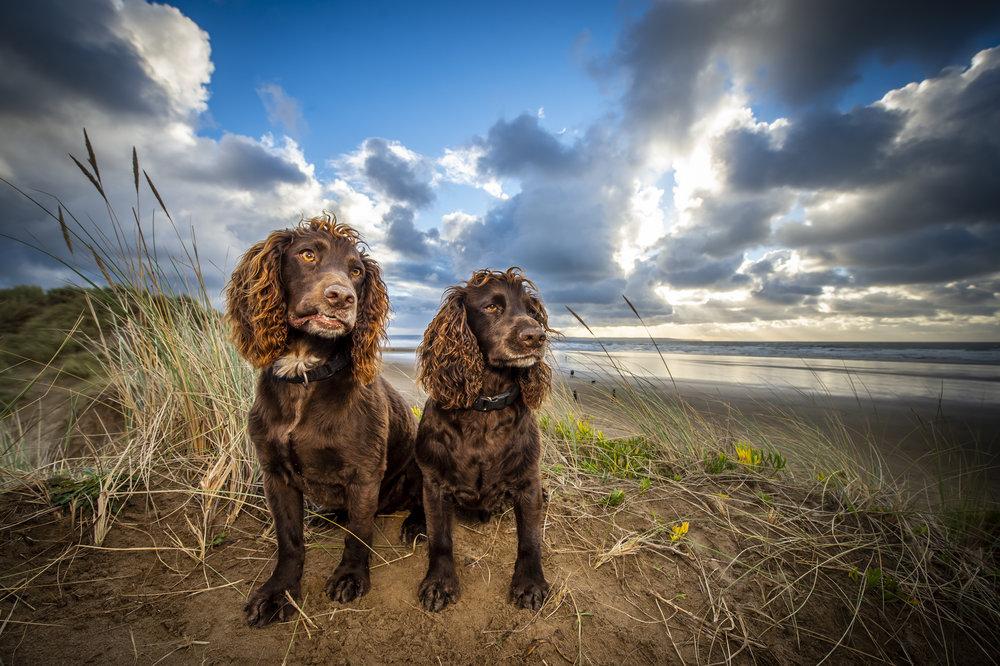 dogs at Saunton Sands in North Devon