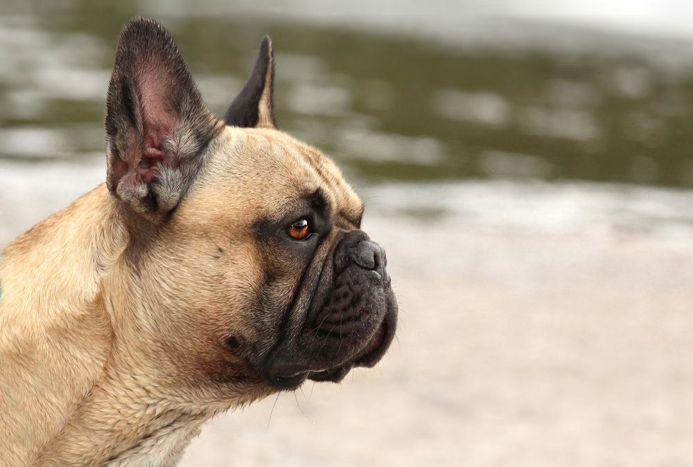 frenchie profile.jpg
