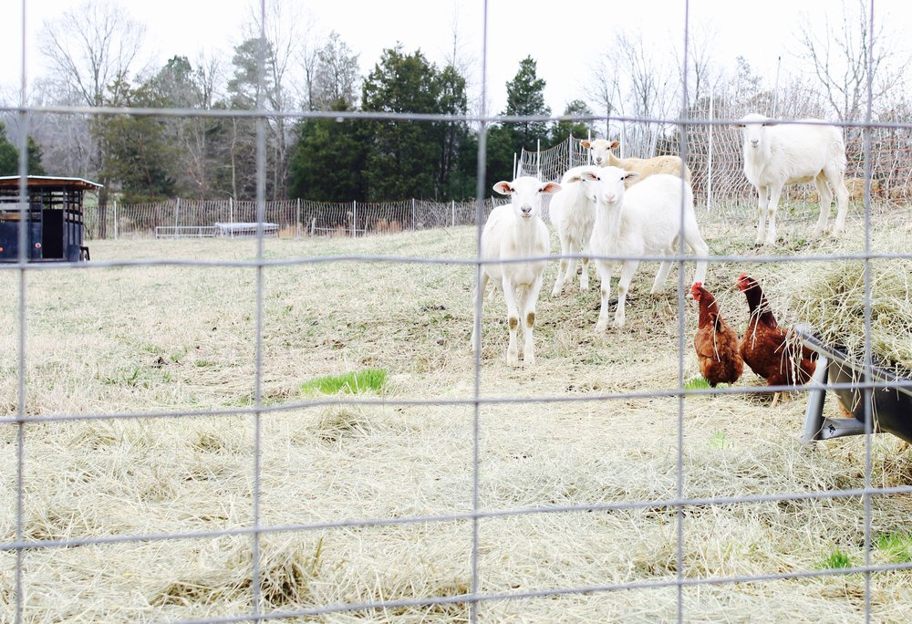 Another customer of ours, Simplicity Acres Farm is a smaller hobby style farm down the road from us. Pictured above is some of their grass fed lambs and free range chickens.
