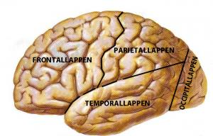frontallappen