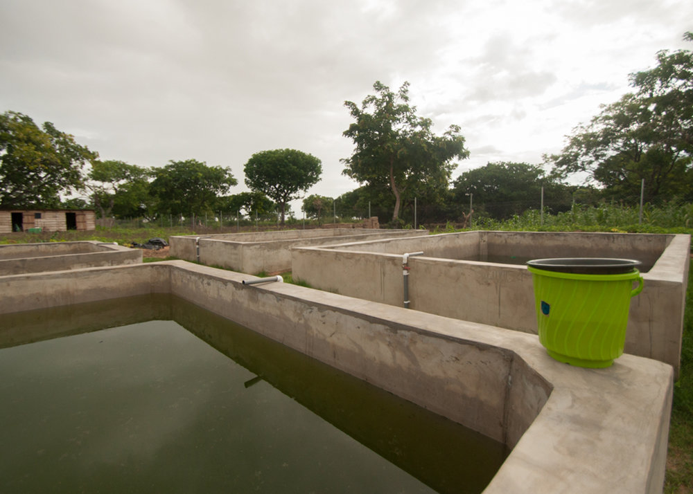 #7: January 2017 - GH Fish hatchery constructed and producing fingerlings for village cages