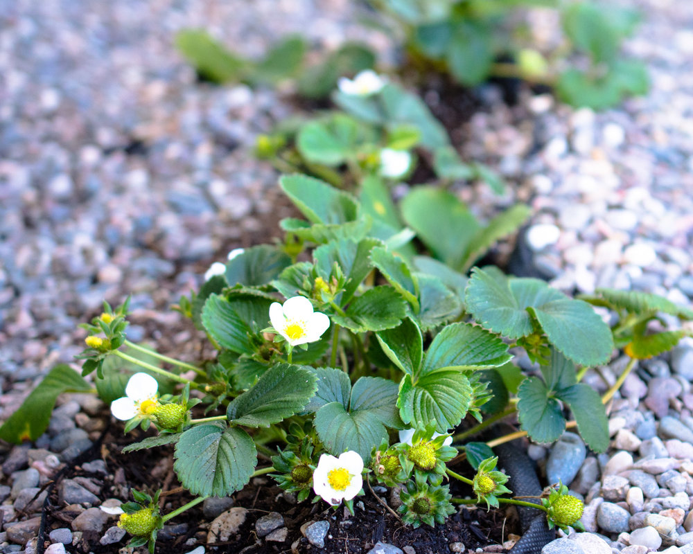 Strawberry plants growing in my garden.