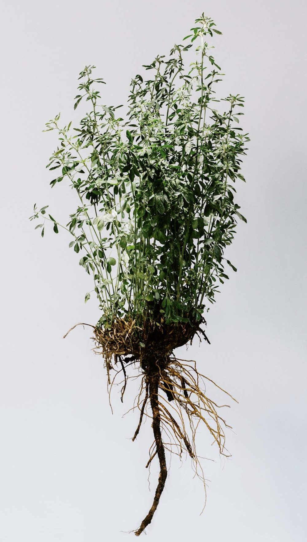 Alfalfa plant with roots.jpg