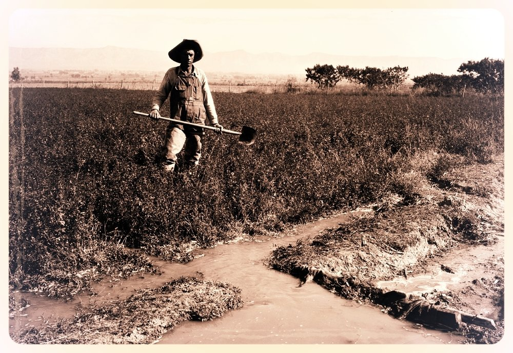 Flood irrigation has been one of the traditional methods for irrigating alfalfa for over a 100 years.    Source: Digital Collections of Colorado - Colorado State University
