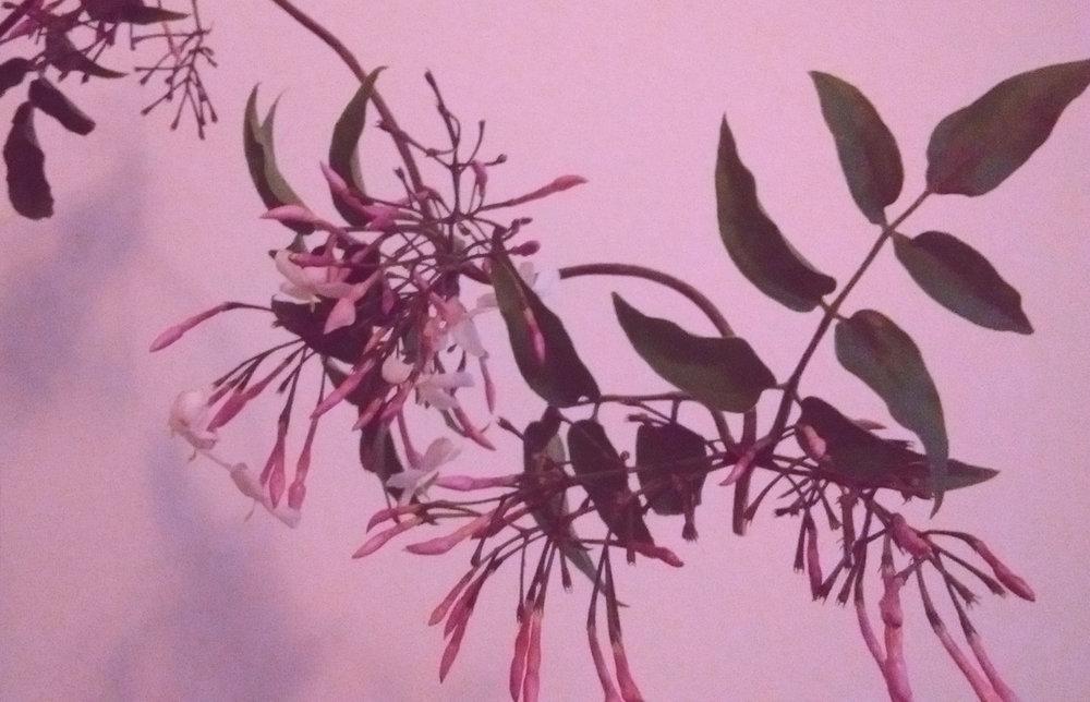 pink jasmine.jpg