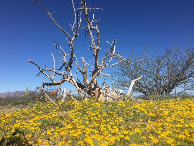 The desert is carpeted by vivid yellow flowers