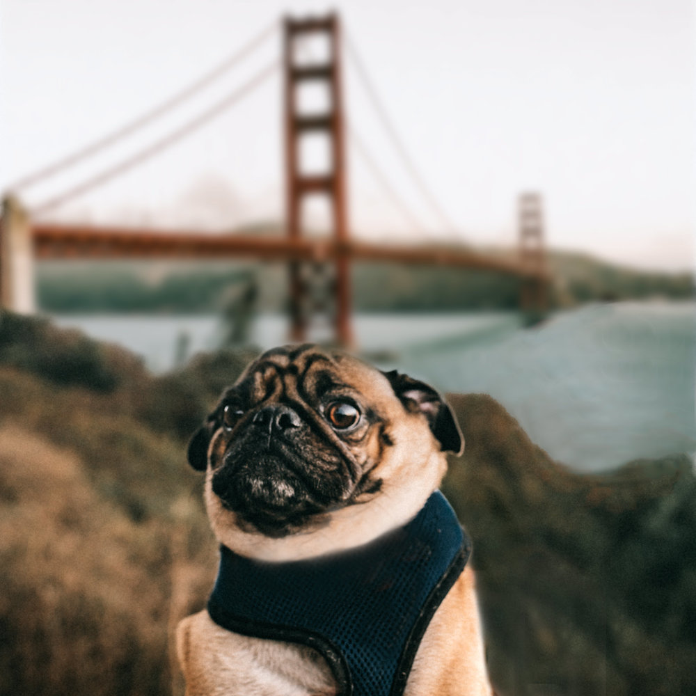 Ollie the Adventurous Pug