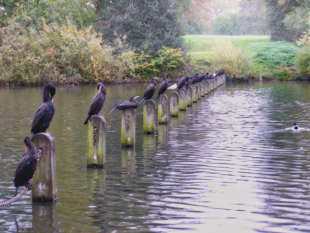 Shags-Kensington Gardens-London-England-wmlamont_2aPA310096.jpg