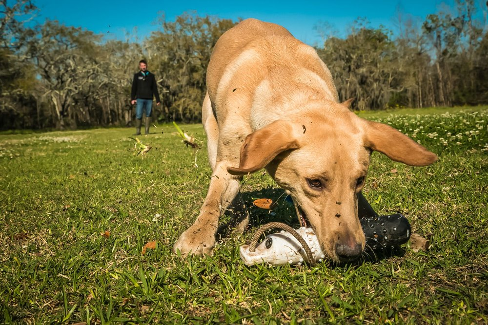 Gundog Training -