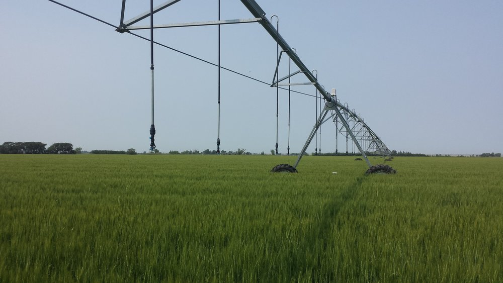 Wheat under pivot - Copy.jpg