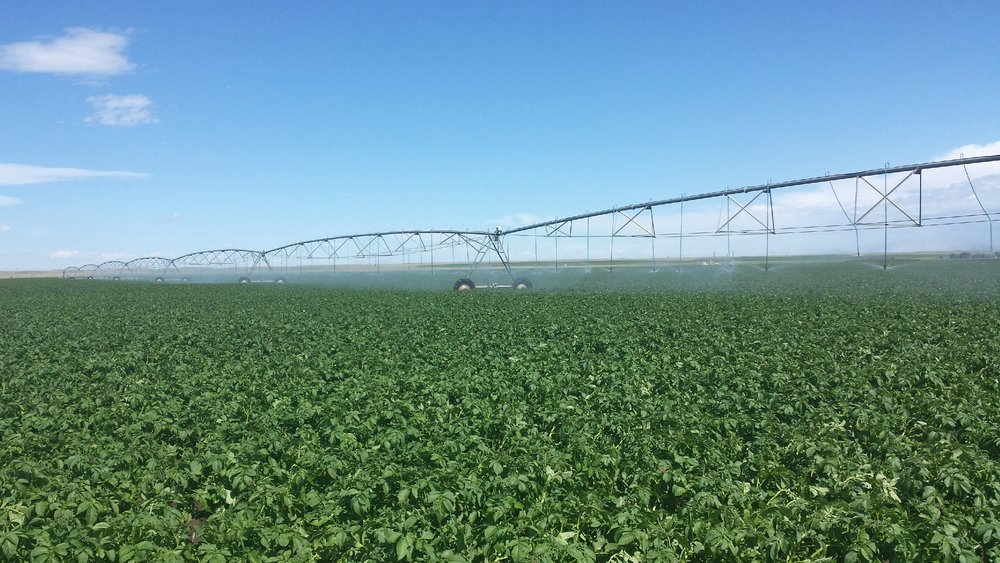 Irrigating potatoes - Copy.jpg