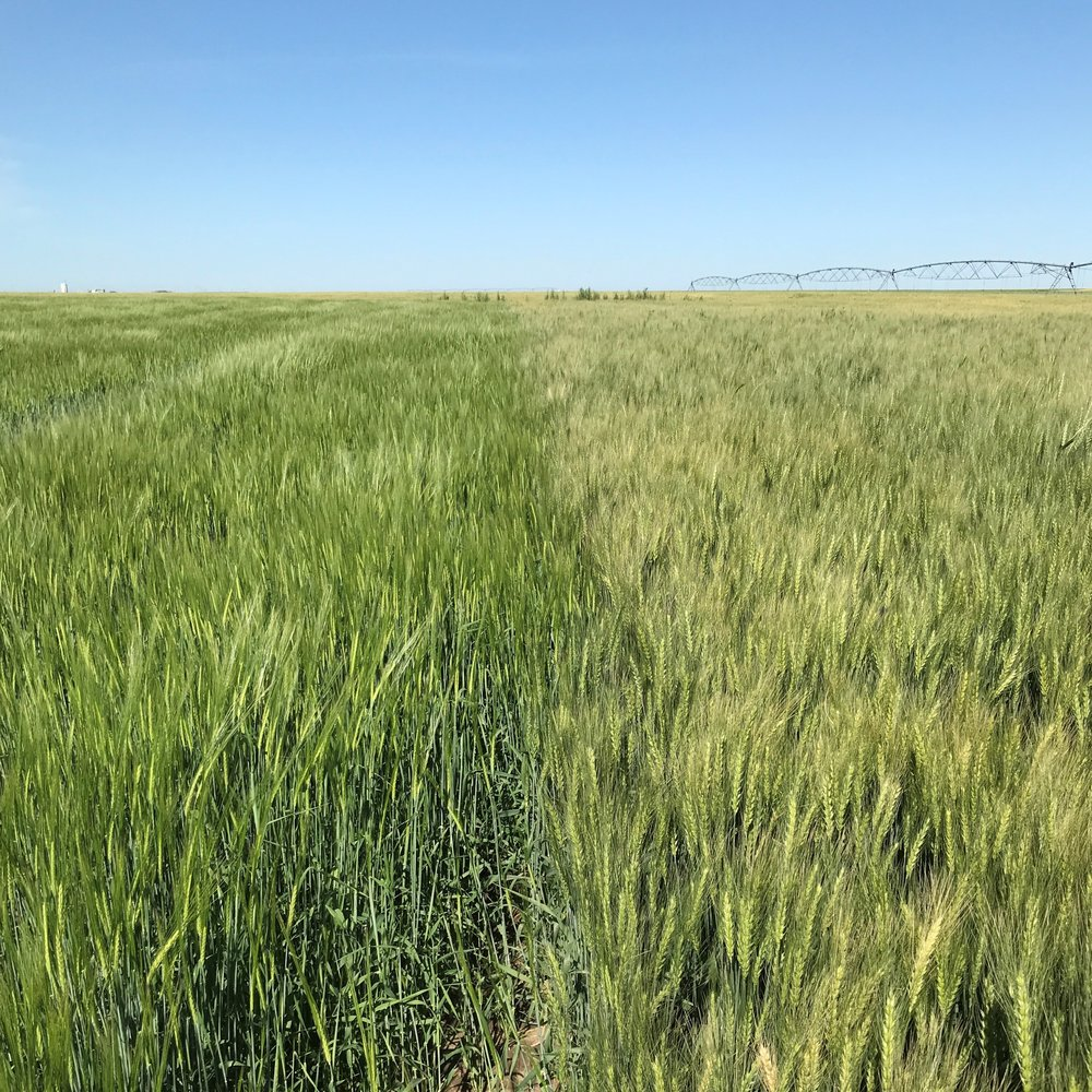 Barley on the left and winter wheat on the right.