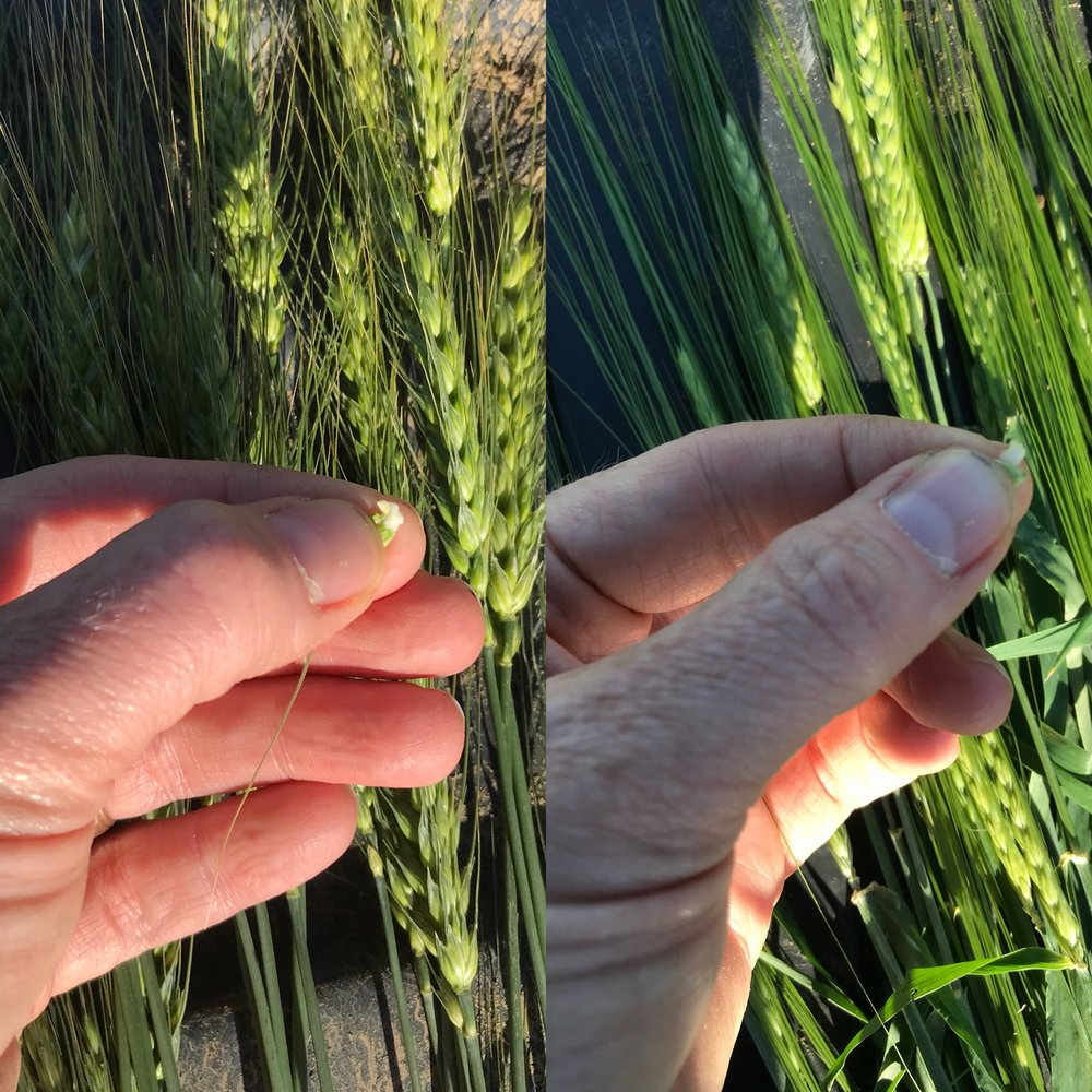 Winter wheat on the left and barley on the right. Both at the late milk stage.