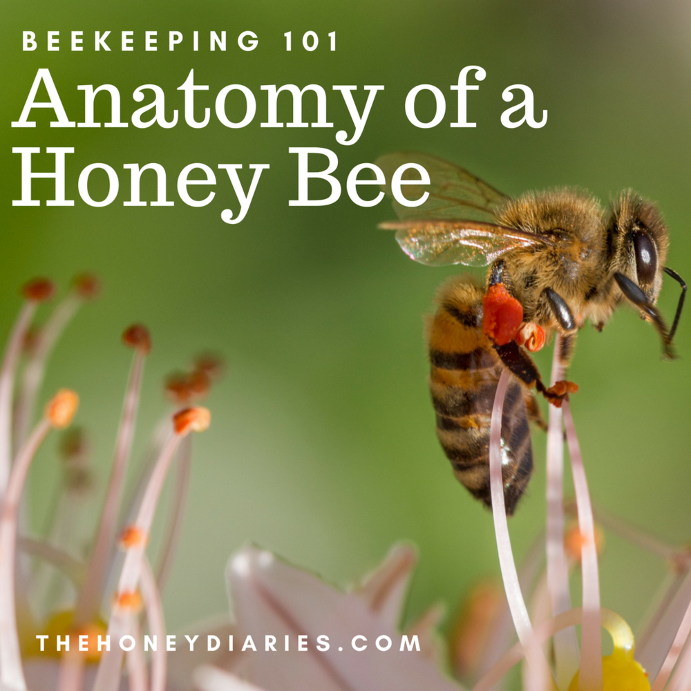 Anatomy of a Honey Bee — The Honey Diaries