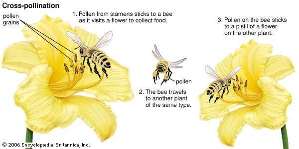 https://www.britannica.com/science/cross-pollination