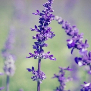 Lavender  - Bloom Time: SummerSoil pH: NeutralPlant Space: 2-3 feetSun Exposure: Full SunWatering: 1-2 times/week