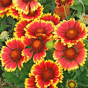 Gaillardia - Bloom Time: AutumnSoil pH: Neutral/AlkalinePlant Space: 18 inchesSun Exposure: FullWatering: 1-2 times/week