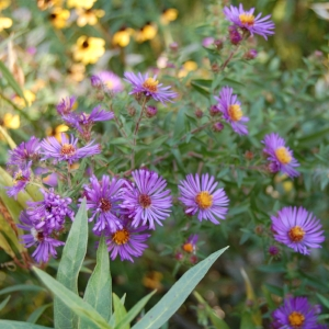 Asters - Bloom Time: AutumnSoil pH: VariesPlant Space: 1-3 feetSun Exposure: Full Sun/Part SunWatering: 1-2 times a week
