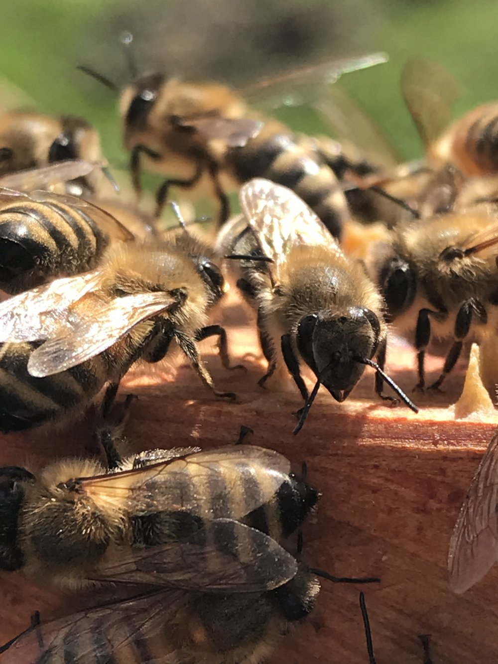 Welcome toThe Honey Diaries - Our little blog on the ongoing successes and failures of keeping honey bees in our backyardFollow us on social media and subscribe to the mailing list to get updates on blog postings