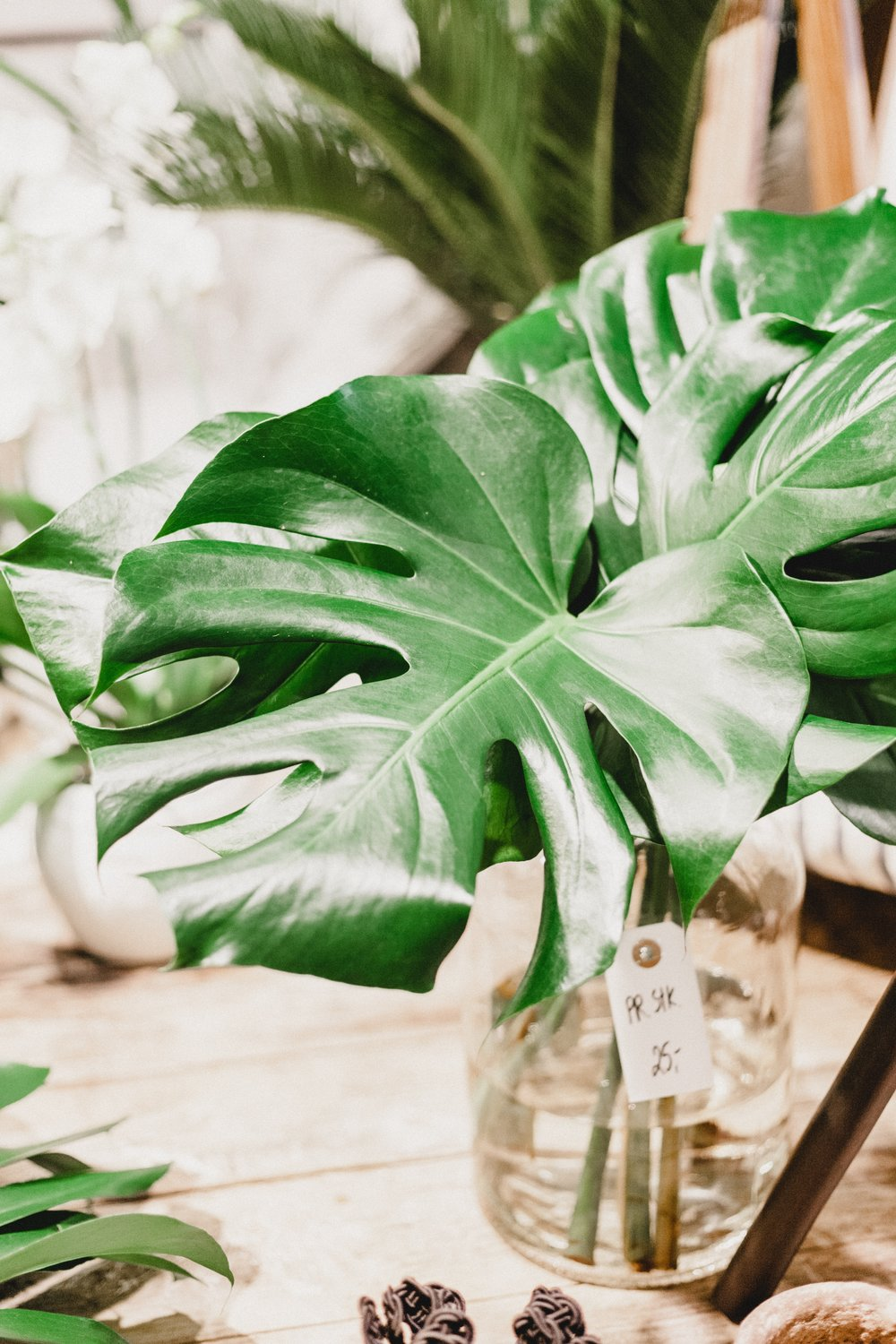 monstera deliciosa  (but I prefer its other name, the cheese plant)